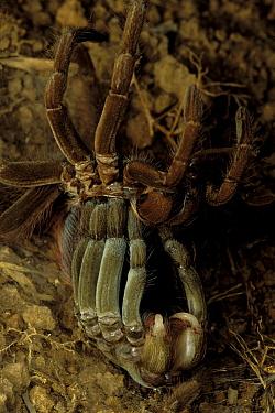 Ecuadorian Brown Velvet Tarantula (Megaphobema velvetosoma) shedding its skin (cuticle), Ecuador  -  Mark Moffett