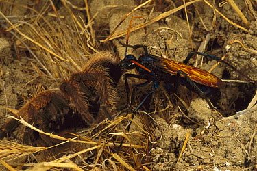 Tarantula (Theraphosidae) is stunned and taken to it's own burrow by a Tarantula Hawk (Pepsis sp), California  -  Mark Moffett