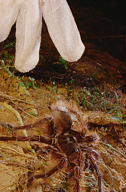 Goliath Bird-eating Spider (Theraphosa blondi) with researcher's gloved hand showing defensive behavior where spider breaks off toxic hairs from abdomen with hind legs, French Guiana  -  Mark Moffett