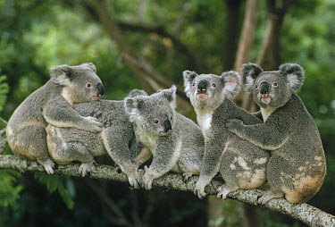 Koala (Phascolarctos cinereus) group sitting on branch, Lone Pine Koala Sanctuary, Brisbane, Australia  -  Shin Yoshino