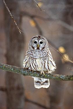 Barred Owl (Strix varia) perching in tree, Minnesota  -  Jim Brandenburg