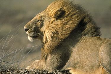 African Lion (Panthera leo) male facing into wind, Serengeti National Park, Tanzania  -  Mitsuaki Iwago