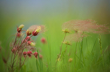 Prairie Smoke (Geum triflorum) flowers, North America  -  Jim Brandenburg
