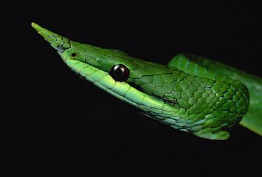 Vine Snake (Natrix trianguligera) face, Tam Dao National Park, Vietnam  -  Mark Moffett