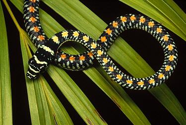 Colubrid Snake (Boiga sp) a flying snake, new species, Tam Dao National Park, Vietnam  -  Mark Moffett
