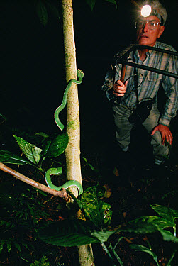 Asian Pit Viper (Trimeresurus sp) tracked with transmitter, Tam Dao National Park, Vietnam  -  Mark Moffett