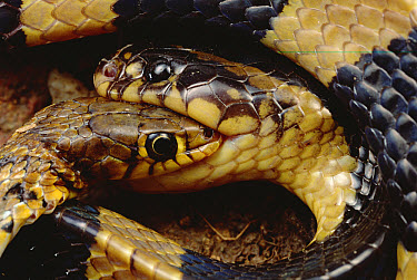 Krait (Bungarus sp) killing another snake, Tam Dao National Park, Vietnam  -  Mark Moffett