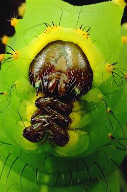 Caterpillar, Tam Dao National Park, Vietnam  -  Mark Moffett