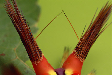 Slug Caterpillar (Setora fletcheri) spines loaded with toxins are retracted when the animal is undisturbed, Tam Dao National Park, Vietnam, sequence 1 of 2  -  Mark Moffett