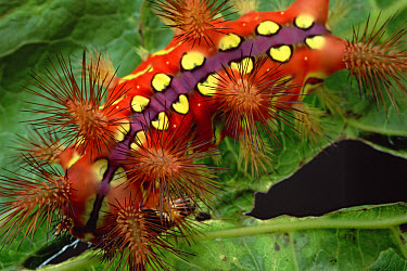 Slug Caterpillar (Setora fletcheri) shows warning coloration and spines loaded with toxins that erect when the animal is disturbed, Tam Dao National Park, Vietnam  -  Mark Moffett