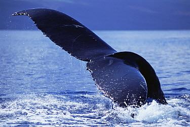 Humpback Whale (Megaptera novaeangliae) tail lobs, Maui, Hawaii - notice must accompany publication; photo obtained under NMFS permit 987  -  Flip  Nicklin