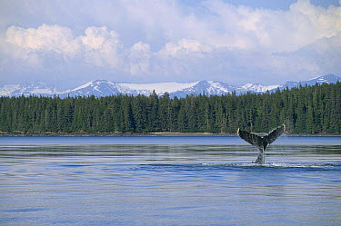 Humpback Whale (Megaptera novaeangliae) tail, Southeast Alaska  -  Flip  Nicklin