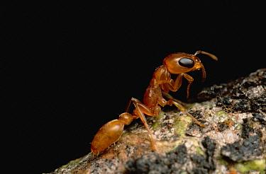 Ant (Pseudomyrmex sp) portrait, close up, Sipapo Tepui, Venezuela  -  Mark Moffett