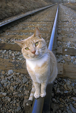 Orange Tabby cat named Skittles, sitting on railroad tracks, traveled 350 miles cross-country to return home after being separated from his owners, Minnesota  -  Jim Brandenburg