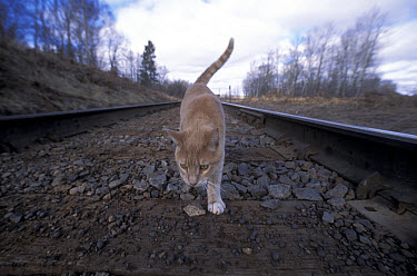 Orange Tabby cat named Skittles, walking along railroad tracks, traveled 350 miles cross-country to return home after being separated from his owners, Minnesota  -  Jim Brandenburg