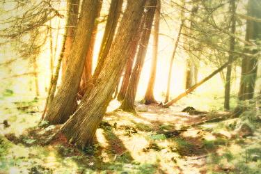 Sunlight through fog and cedar trees, Superior National Forest, Minnesota  -  Jim Brandenburg