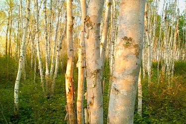 Birch (Betula sp) sunlit grove, Superior National Forest, Minnesota  -  Jim Brandenburg