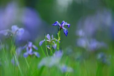 Western Blue Flag Iris (Iris missouriensis) flowers, Superior National Forest, Minnesota  -  Jim Brandenburg