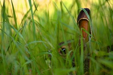 Snowshoe Hare (Lepus americanus) young in tall grass, Minnesota  -  Jim Brandenburg