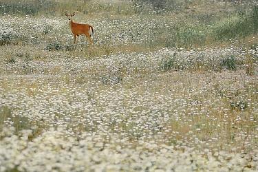 White-tailed Deer (Odocoileus virginianus) in meadow full of daisies, Minnesota  -  Jim Brandenburg