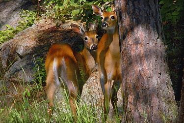 White-tailed Deer (Odocoileus virginianus) bucks, Northwoods, Minnesota  -  Jim Brandenburg