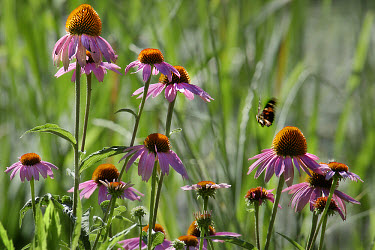 Purple Coneflower (Echinacea purpurea) field, Minnesota  -  Jim Brandenburg