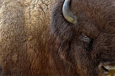 American Bison (Bison bison) male, Blue Mounds State Park, Minnesota  -  Jim Brandenburg