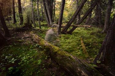 Photographer self-portrait among cedar trees, Northwoods, Minnesota  -  Jim Brandenburg