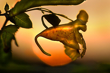 Balsam (Impatiens sp) flower against setting sun, Northwoods, Minnesota  -  Jim Brandenburg