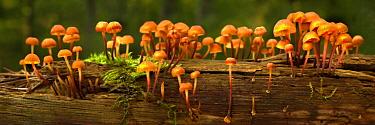 Mushrooms growing on log, Northwoods, Minnesota  -  Jim Brandenburg
