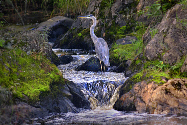 Great Blue Heron (Ardea herodias) at Judd Creek, Northwoods, Minnesota  -  Jim Brandenburg