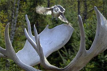 Canada Jay (Perisoreus canadensis) landing on Moose (Alces alces andersoni) antler, Northwoods, Minnesota  -  Jim Brandenburg