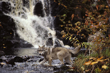 Timber Wolf (Canis lupus) crossing stream, Superior National Forest, Minnesota  -  Jim Brandenburg