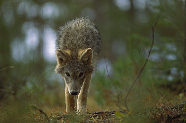 Timber Wolf (Canis lupus) pup, Northwoods, Minnesota  -  Jim Brandenburg