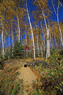 Timber Wolf (Canis lupus) possible den site in south-facing sandy slope, Minnesota  -  Jim Brandenburg
