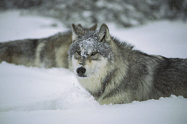 Timber Wolf (Canis lupus) in deep snow, Boundary Waters Canoe Area Wilderness, Minnesota  -  Jim Brandenburg