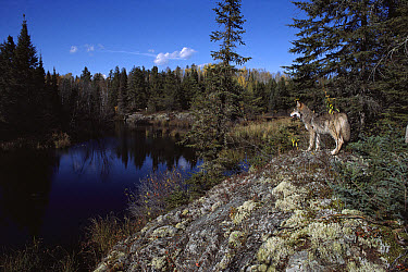 Timber Wolf (Canis lupus) standing on rock overlooking water, Minnesota  -  Jim Brandenburg