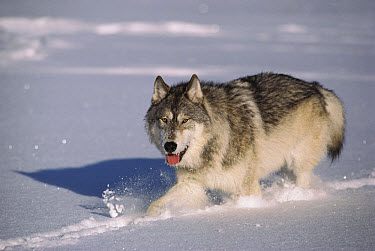 Timber Wolf (Canis lupus) walking in deep snow, Minnesota  -  Jim Brandenburg