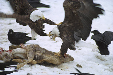Bald Eagle (Haliaeetus leucocephalus) attacking other eagle and fighting with Common Raven (Corvus corax) group over deer carcass in the snow, Minnesota  -  Jim Brandenburg