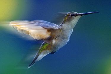 Ruby-throated Hummingbird (Archilochus colubris) female flying, North America  -  Jim Brandenburg