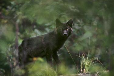 Timber Wolf (Canis lupus) black morph peering through foliage, North America  -  Jim Brandenburg