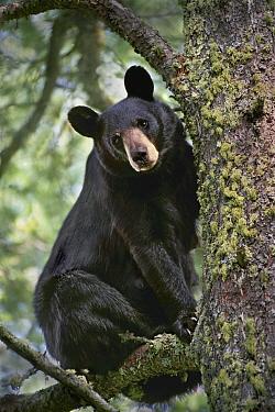 Black Bear (Ursus americanus) in tree, Judd Creek, Northwoods, Minnesota  -  Jim Brandenburg