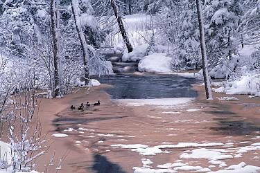 Wood Duck (Aix sponsa) quartet on snowy Judd Creek, Northwoods, Minnesota  -  Jim Brandenburg