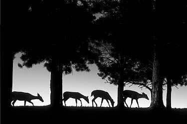 White-tailed Deer (Odocoileus virginianus) group grazing along hilltop, Northwoods, Minnesota  -  Jim Brandenburg