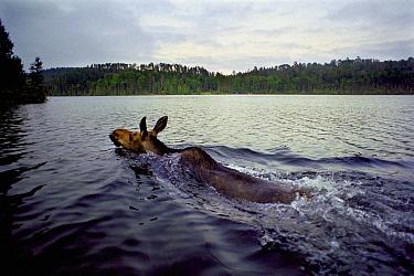 Moose (Alces alces andersoni) female swimming across lake, Northwoods, Minnesota  -  Jim Brandenburg
