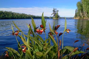 Rams Head Lady's Slipper (Cypripedium arietinum) orchid, Boundary Waters Canoe Area Wilderness, Minnesota  -  Jim Brandenburg
