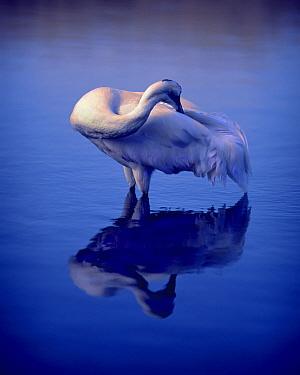 Whooping Crane (Grus americana) preening in shallow water, Wisconsin  -  Jim Brandenburg