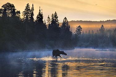 Moose (Alces alces andersoni) female wading through water, Isle Royale National Park, Michigan  -  Jim Brandenburg