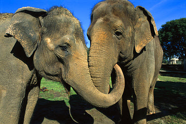 Asian Elephant (Elephas maximus) pair with entwined trunks, native to India, Asia, Thailand and Laos  -  ZSSD