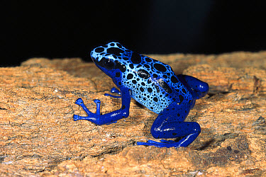 Blue Poison Dart Frog (Dendrobates azureus) very tiny poisonous frog, Indian tribes use poison for arrows, native to South America  -  ZSSD